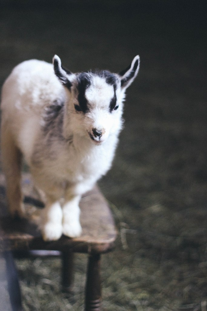 my favourite baby goat!