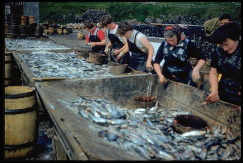 Women gutting herring in the farlins at Shearer's Station, Whalsay. Photo: Magnie Shearer