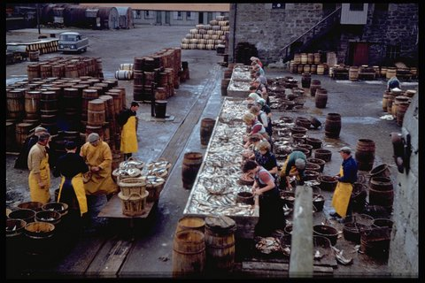 Herring gutting at Shearer's. Photo: Magnie Shearer