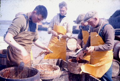 Gutting mackerel at J. & M. Shearer's station. Lt.-Rt.- Tammie Garriock, James Manson (Yunkers), Bertie Tulloch, Willie Couper. Photo: Shetland Museum and Archives