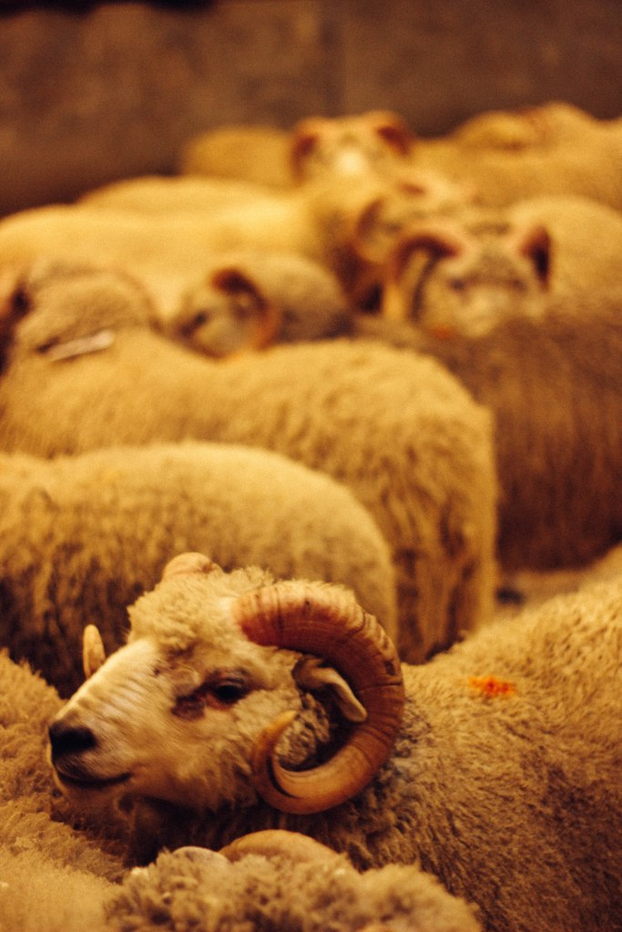 Shetland Rams at the Marts