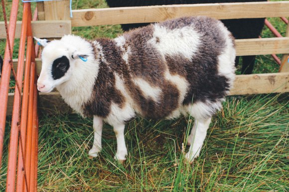 'shetland wool'